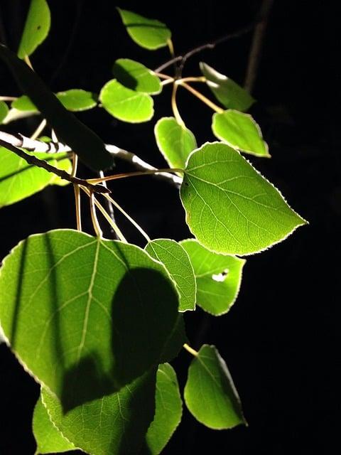 Денежный дерево